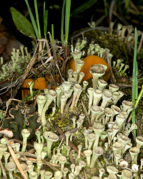 Orange Peel Mushrooms and strange looking fungi, the Pixie Goblet or Pixie cup (Cladonias pyxidata or Cladonia chlorophaea or Cladonia carneola), growing on the forest floor, Island Park, ID May 31, 2008