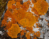 Is this bright orange lichen named Jewel Lichen?