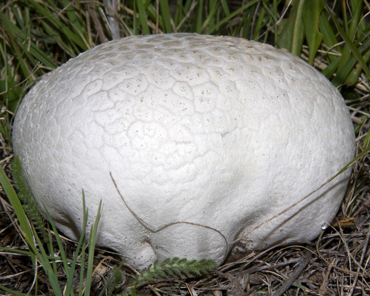 Side view of Western Giant Puffball Mushroom (Calvatia booniana) behind RedRock RV Park in Island Park, Idaho. June 10, 2009
