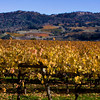 All the vineyards in northern California are in some stage of fall colors. Notice the vineyards of differing colors on the hillside contrasted with this one in the foreground. nov 30, 2009