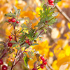 Red berries in fall. Red Rock Lakes National Wildlife Refuge.