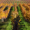 Northern California Vineyard in the fall. Nov 2009