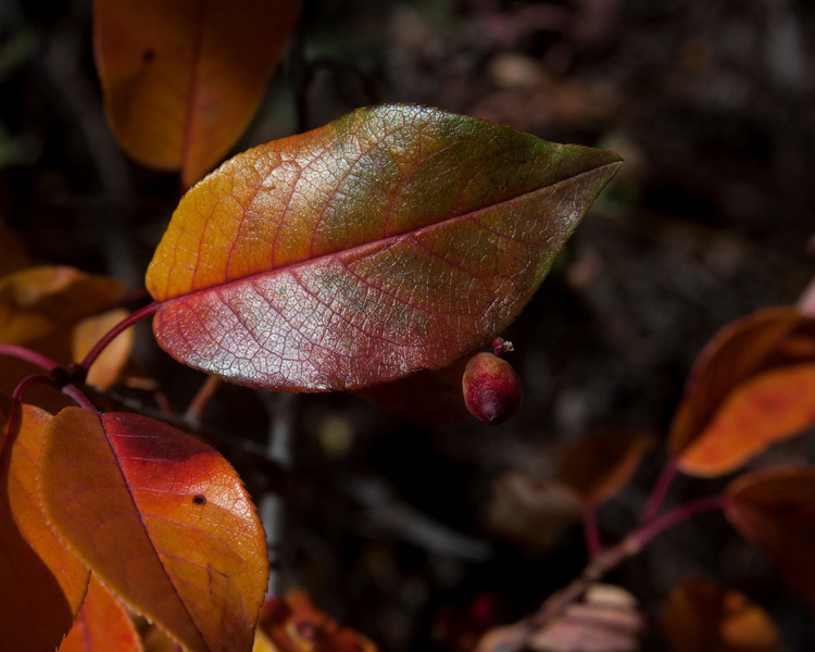 Fall-colored (red and purple) leaf from unknown shrub on hillside above Elk Lake in Montana.Sep 19, 2010
