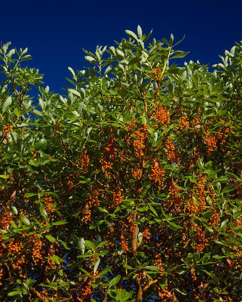 Madrone tree berries along the Skaggs Springs road in Northern California. Nov 2, 2010.