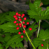 Red Baneberry is very poisonous but very beautiful. Targhee Forest, Idaho. July 31, 2012.