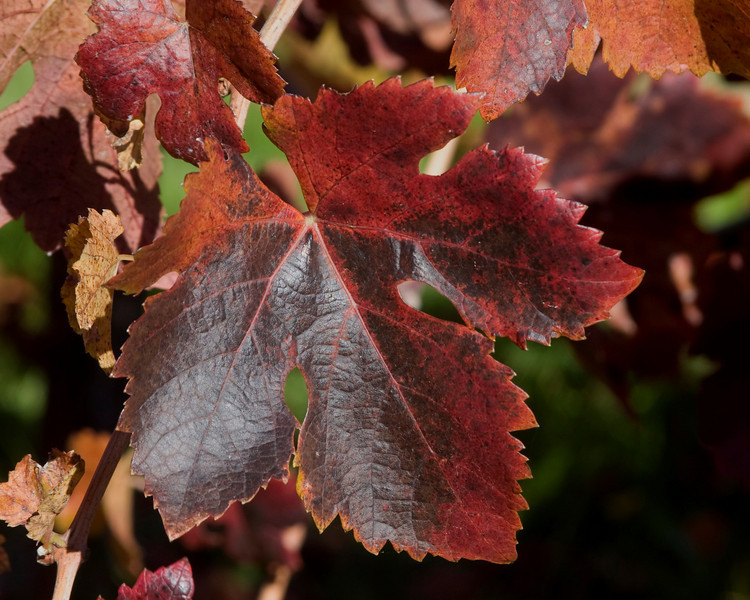 Purple dominates the fall colors of this grape leaf near Geyserville, California. Nov 30, 2009