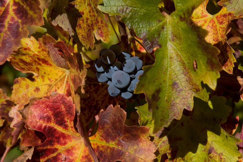 Colorful scene with merlot grapes in vineyard near Cloverdale, California. Nov 30, 2009