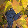 Fall colors come to the vineyards, but the grapes stay purple! Nov 5, 2010.