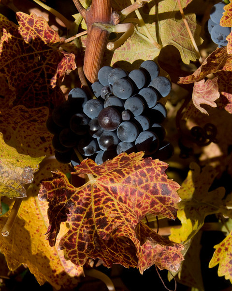 Merlot grapes in fall in the Sonoma Valley. Dec 2009