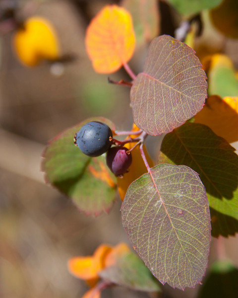 Shrub and grape-colored berry as fall colors take it over on hillside above Elk Lake in Montana. Sep 19, 2010.