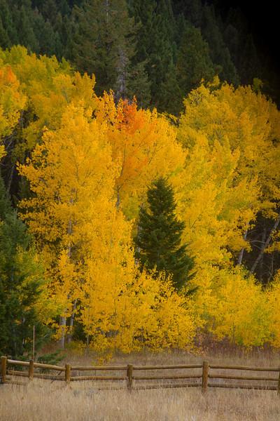Aspen Trees turn Yellow