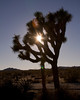 Joshua Tree with sun glare in background. Joshua Tree National Park. California