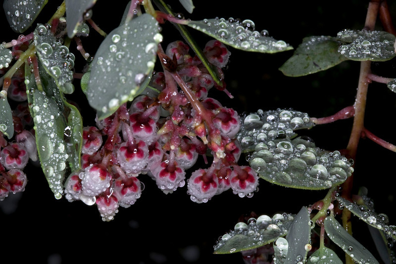 After a rain, drops of dew collect on Manzanita leaves and blooms in San Jacinto Mountains of Southern California. Feb 2010.