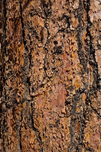 Ponderosa Pine bark in Zion National Park in Utah. April 28, 2014