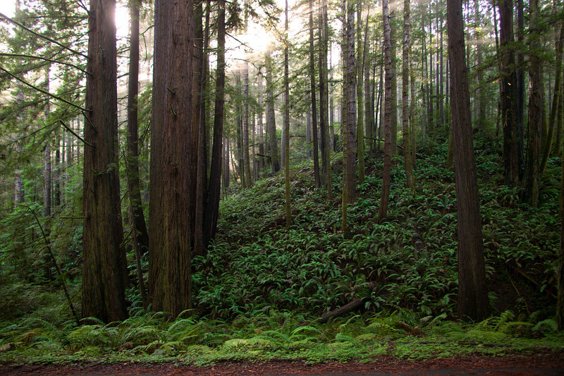 Redwood forest California.