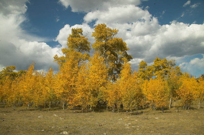 Aspens display their fall colors along Red Rock Road in Idaho, near the Montana border. Sep 2007