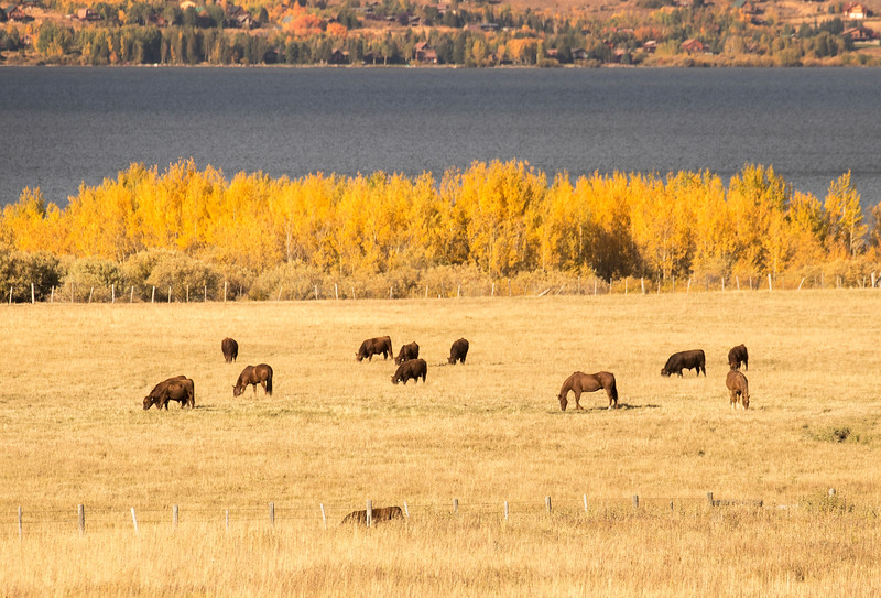 Henry's Lake and Aspens in  Fall with Cows and Horses