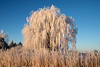 Frosted Weeping Willow, outside of Parker, Idaho