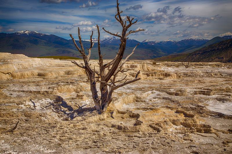 Mammoth Terrace tree, Yellowstone National Park