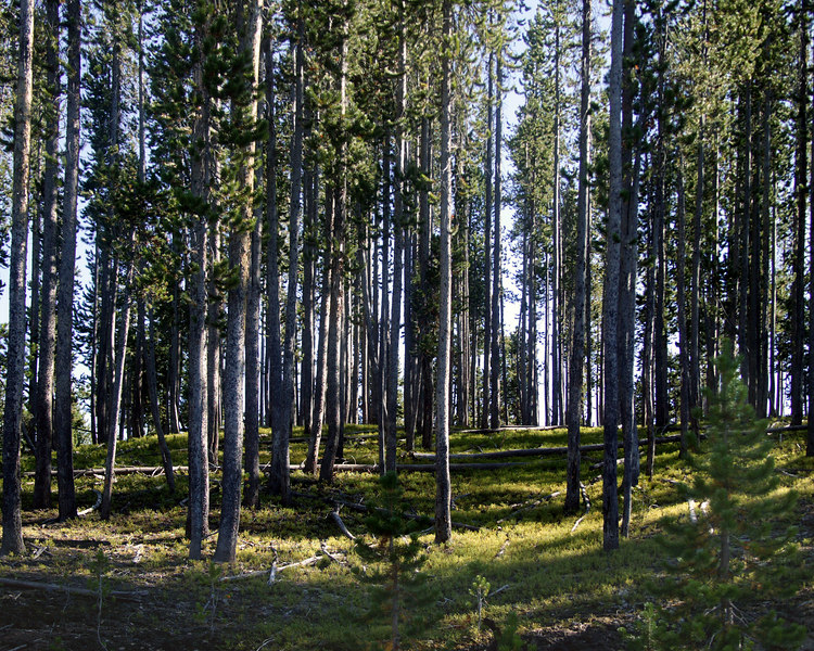 Lodgepole Pines in Forest.