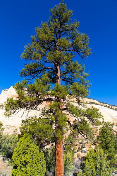 Ponderosa Pine (Pinus Ponderosa Lawson) in Zion National Park. Utah April 28, 2013