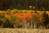 Aspen Trees along Red Rock Road