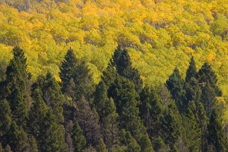 Aspen and Douglas Fir in fall above Elk Lake in southern Montana. September 17, 2010.