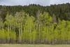 Fresh Leaved Aspen Trees
