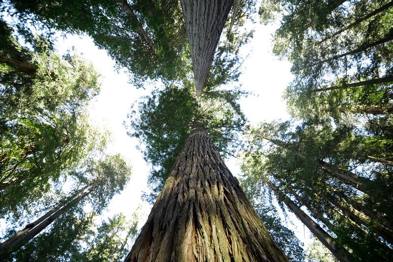 Redwood Trees at LBJ Grove
