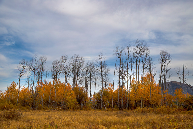 Aspens along Idlewild Road, RRLNWR, Montana