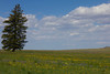 This douglas Fir stands alone in a wildflower meadow on Gravelly Range, Montana. July 3, 2012.