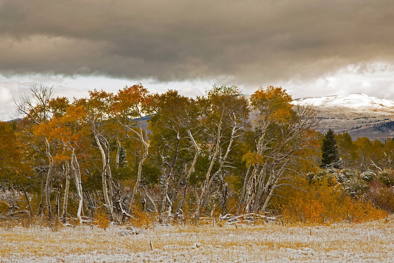 Aspens in their Fall Colors