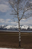 Aspen Tree in May with Black Mountains cloaked in snow, Island Park, Idaho. Henry's Lake  is seen in the background, still covered with ice.