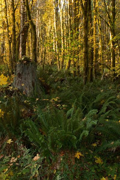 Swordtail Fern in forest near Randle, Washington. October 2009