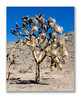 Joshua tree that has been burned appears white. Joshua Tree National Park.