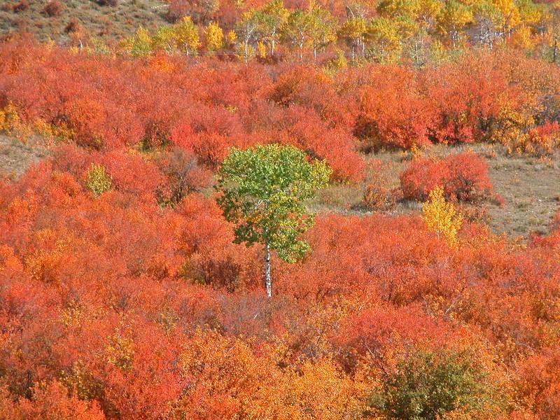 Idaho Aspen in a sea of maple bushes. Sep 2003