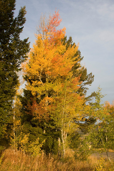 Trees along Red Rock road, Island Park, Idaho. Sep 25, 2008
