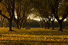 Golden glow at sunrise from tree leaves at RV Park near Isleton, California, late December, 2011.  The next day they raked the leaves away.. shame to value tidiness over beauty.  The day before the leaves were falling like rain, due to the freeze the night before.