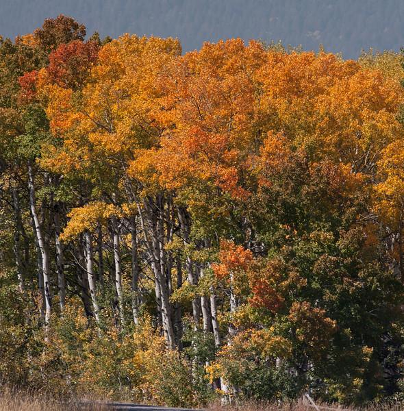 Red Rock Road aspens in fall. Sep 22, 2012