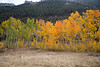 Colorful Aspen Trees in Red Rock Lakes Nat'l Wildlife Refuge