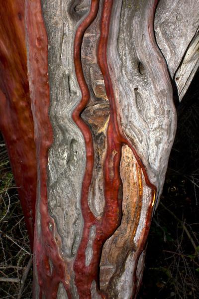 Weathered bark of the Manzanita tree in the Pinnacles National Monument. Jan 24, 2012.