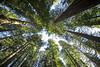 Towering Redwoods at LBJ Redwood Grove