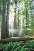 Crespulular Rays and Redwoods, Prairie Creek Redwood State Park
