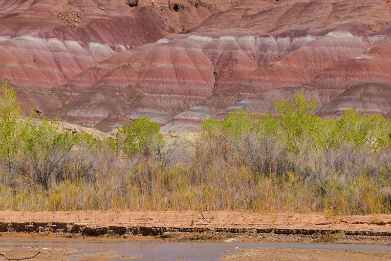 Cottonwood trees along the Paria River  in southern Utah.