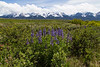 Lupines and the west Centennial Mountains