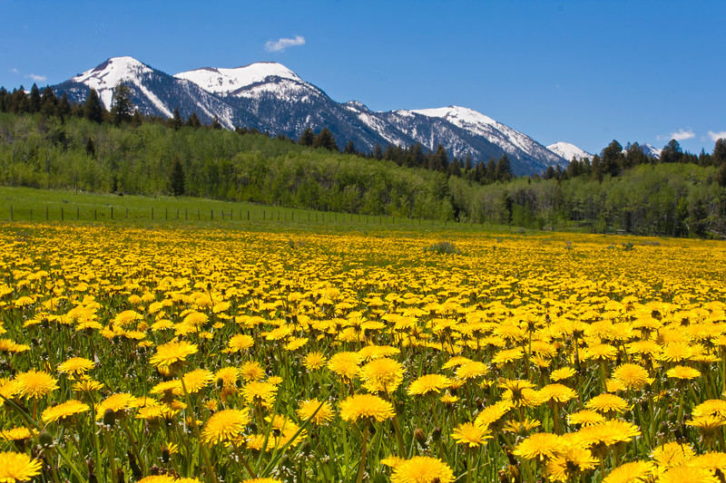 East Centennial Mountains and Dandelions