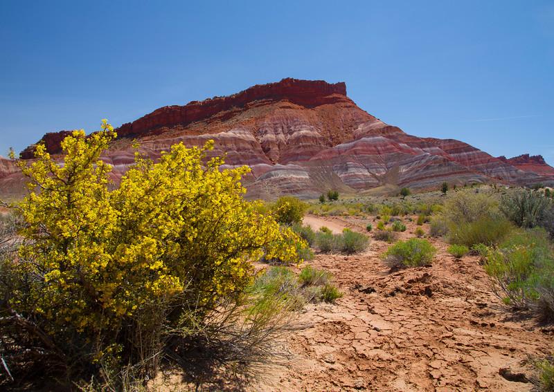 Paria Canyon, Utah and yellow bush. April 2013