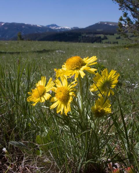 Old Man of the Mountain (Hymenoxys grandiflora or Tetraneuris grandiflora) on Gravelly Range Ridge road. July 10, 2009 Montana