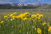 West Centennial mountains in Montana with false dandelions wildflowers in foreground. June 2009