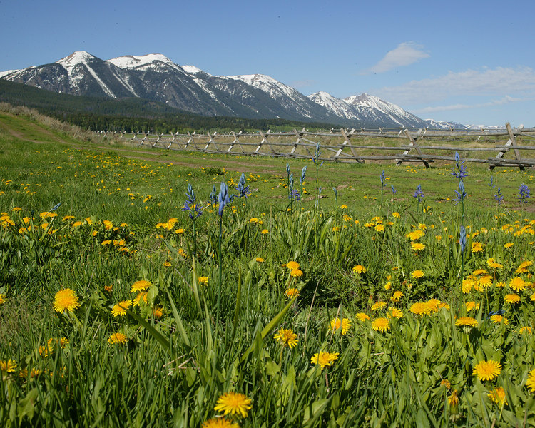 Centennial Mountains from Idaho with Camas and Dandelions in foreground.